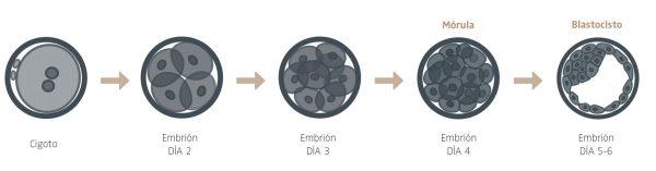 etapas formación embrión